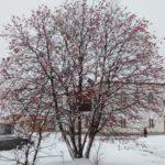 Красный куст на белом снегу