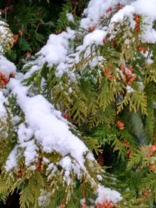 Туя под снегом