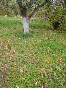 Переславль. Дендрологический сад. Яблоневый сад